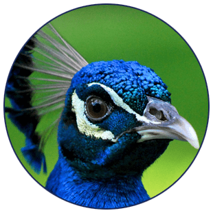 conrad_the_peacock